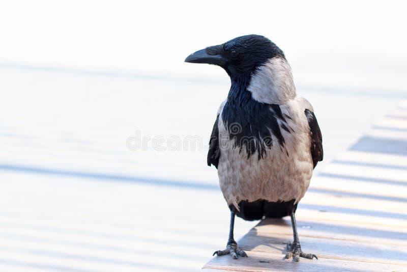 Cierre joven del cuervo para arriba imagenes de archivo