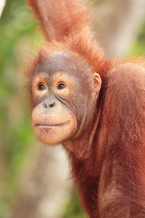 Cierre joven del orangután para arriba fotografía de archivo libre de regalías