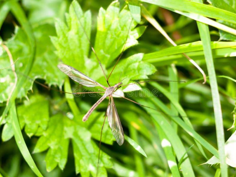Cierre largo del Tipulidae de la mosca de grúa de las piernas del papá para arriba fotos de archivo libres de regalías