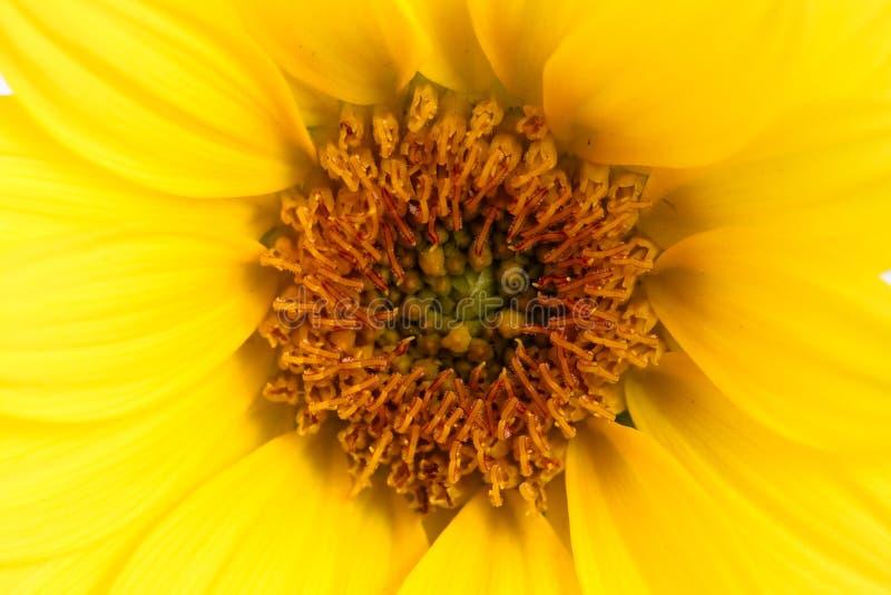 Cierre macro de la flor amarilla encima del detalle de la foto Detalles del primer del girasol del disco del girasol y el rayo de fotografía de archivo