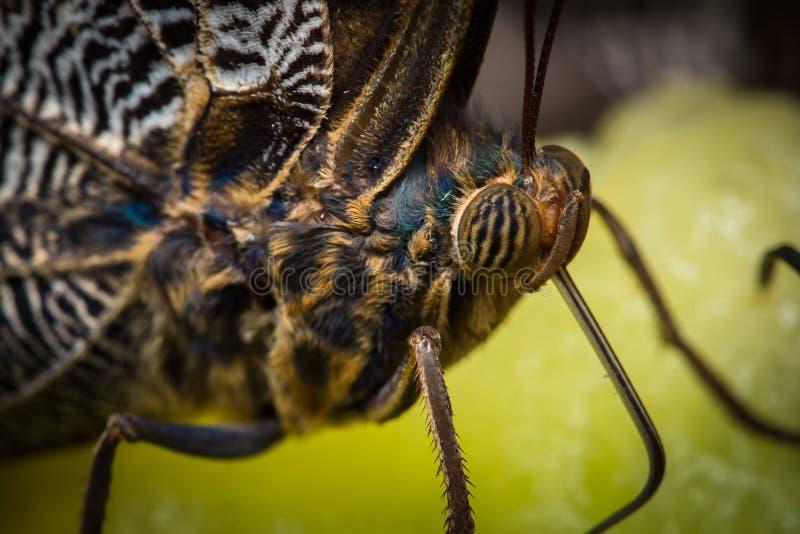 Cierre macro del extremo de la mariposa encima de los detalles foto de archivo
