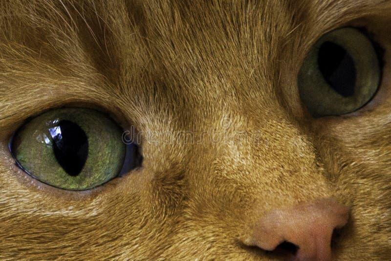 Cierre macro del ojo verde del gato para arriba Gato del jengibre rojo principal mirando la cámara foto de archivo libre de regalías