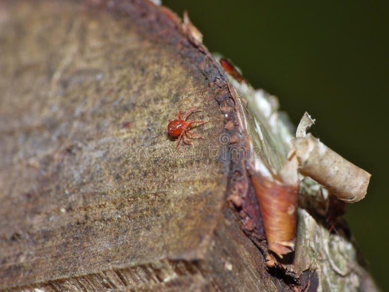 Cierre macro encima de lechones de la sangre del ácaro del terciopelo en la hoja, foto admitida el Reino Unido imagen de archivo