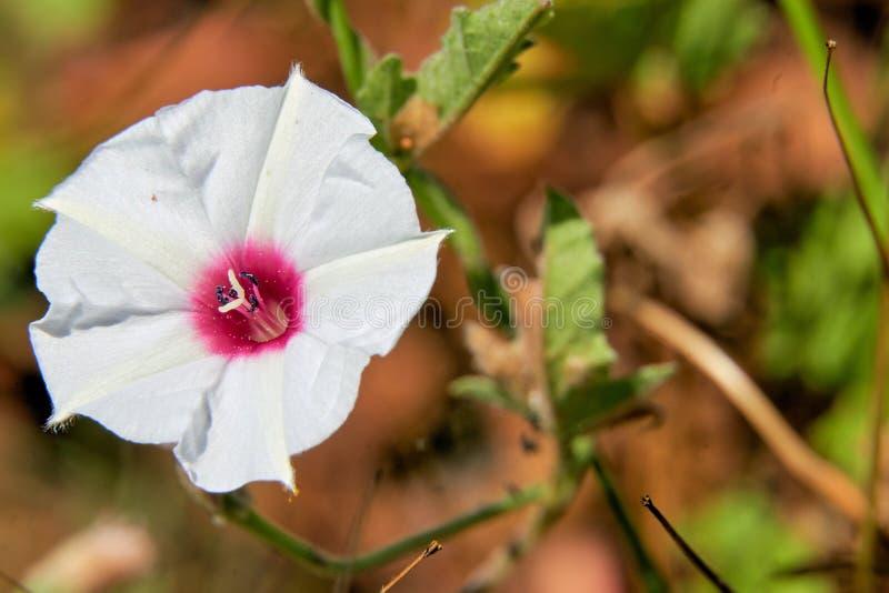 Cierre macro para arriba de la flor hermosa de los equitans de Texas Bindweed Convolvulus imágenes de archivo libres de regalías