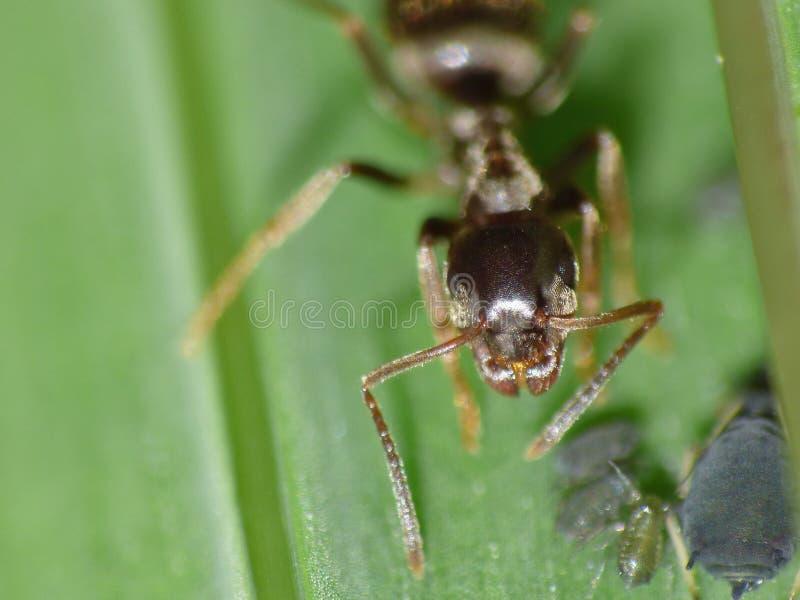 Cierre macro para arriba tirado de hormigas con los áfidos que trabajan junto en una hoja, foto admitida el Reino Unido imagenes de archivo