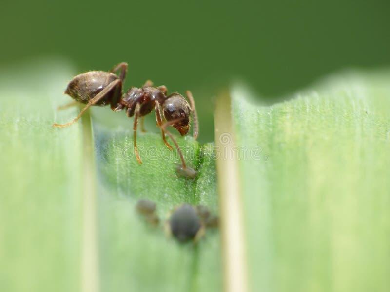 Cierre macro para arriba tirado de hormigas con los áfidos que trabajan junto en una hoja, foto admitida el Reino Unido foto de archivo