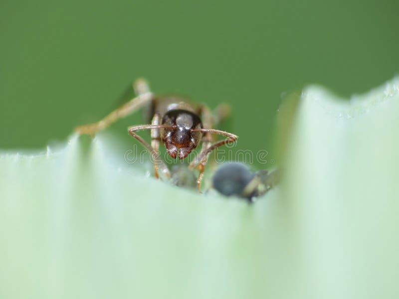 Cierre macro para arriba tirado de hormigas con los áfidos que trabajan junto en una hoja, foto admitida el Reino Unido fotografía de archivo libre de regalías