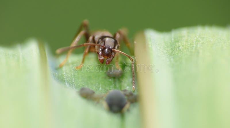 Cierre macro para arriba tirado de hormigas con los áfidos que trabajan junto en una hoja, foto admitida el Reino Unido imágenes de archivo libres de regalías