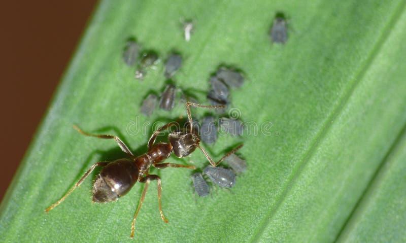 Cierre macro para arriba tirado de hormigas con los áfidos que trabajan junto en una hoja, foto admitida el Reino Unido imagen de archivo libre de regalías