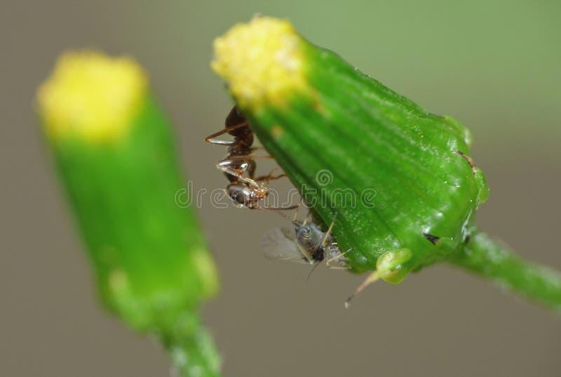 Cierre macro para arriba tirado de hormigas con los áfidos que trabajan junto en una hoja, foto admitida el Reino Unido fotografía de archivo