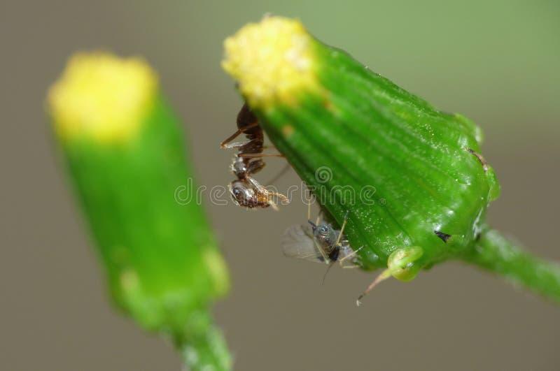 Cierre macro para arriba tirado de hormigas con los áfidos que trabajan junto en una hoja, foto admitida el Reino Unido foto de archivo libre de regalías