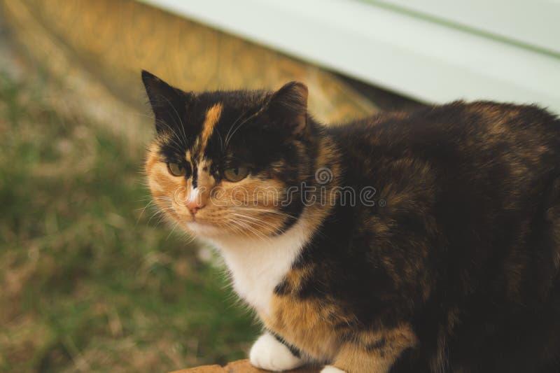 Cierre marrón adulto del retrato del gato para arriba Reclinaci?n del gato nacional fotos de archivo