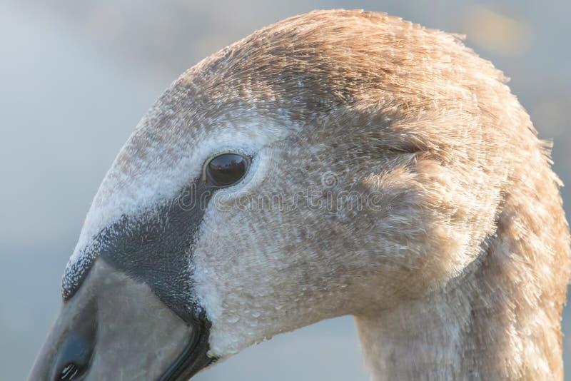 Cierre marrón juvenil del retrato del cisne para arriba, olor del Cygnus del cisne mudo fotos de archivo libres de regalías
