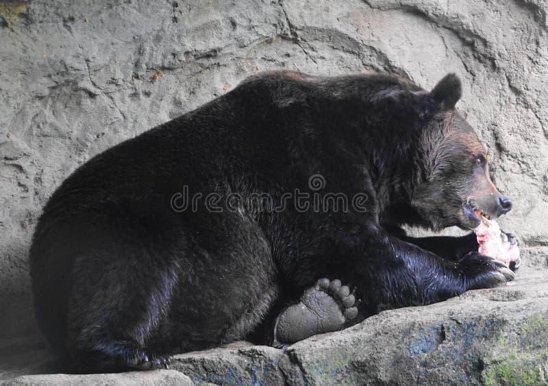 Cierre marrón salvaje del oso grizzly para arriba imagen de archivo