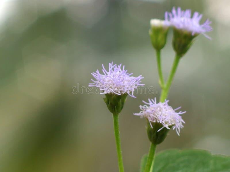 Cierre minúsculo de la flor de la mimosa para arriba imagen de archivo