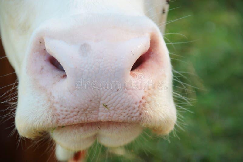 Cierre mojado de la nariz de la vaca para arriba foto de archivo libre de regalías