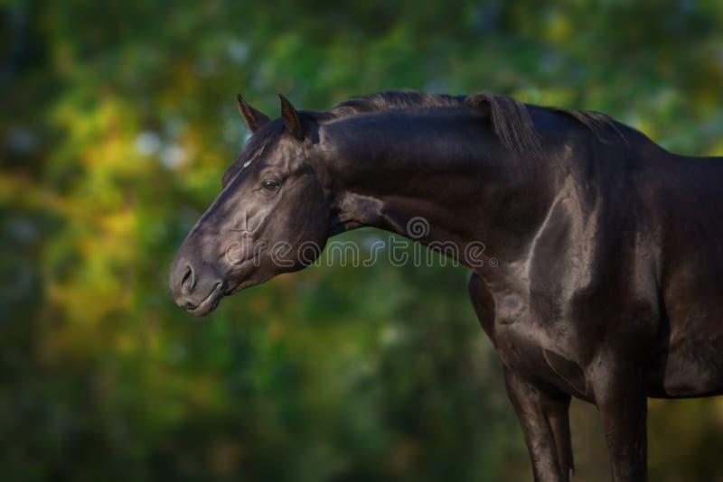 Cierre negro del caballo encima del retrato fotos de archivo