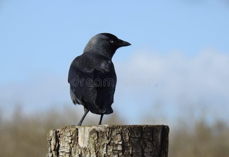 Cierre negro del cuervo para arriba foto de archivo libre de regalías