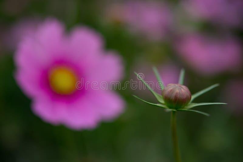 Cierre no todavía floreciente del bulbo de flor para arriba con floreciente en fondo fotos de archivo