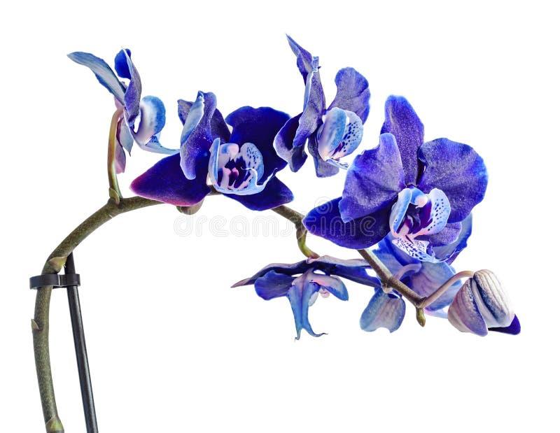 Cierre oscuro de la orquídea violeta, de color de malva, azul encima de la flor de la rama, aislada imagen de archivo libre de regalías