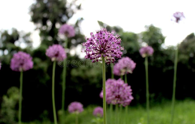 Cierre púrpura de la flor del allium encima de similar foto de archivo