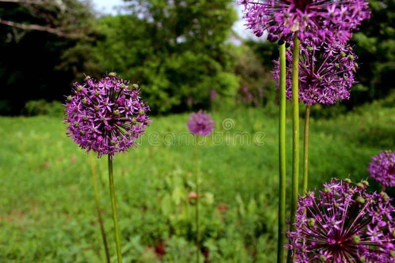 Cierre púrpura de la flor del allium encima de similar fotos de archivo libres de regalías