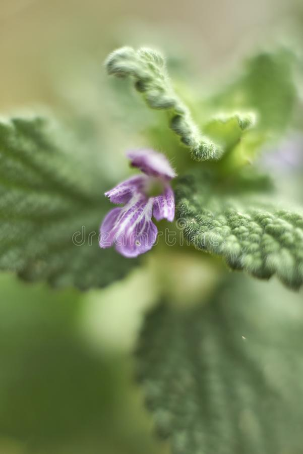 Cierre púrpura de la flor para arriba del nigra del Ballota imagen de archivo
