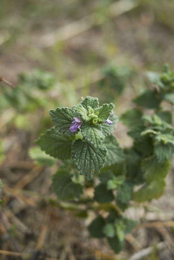 Cierre púrpura de la flor para arriba del nigra del Ballota fotos de archivo libres de regalías