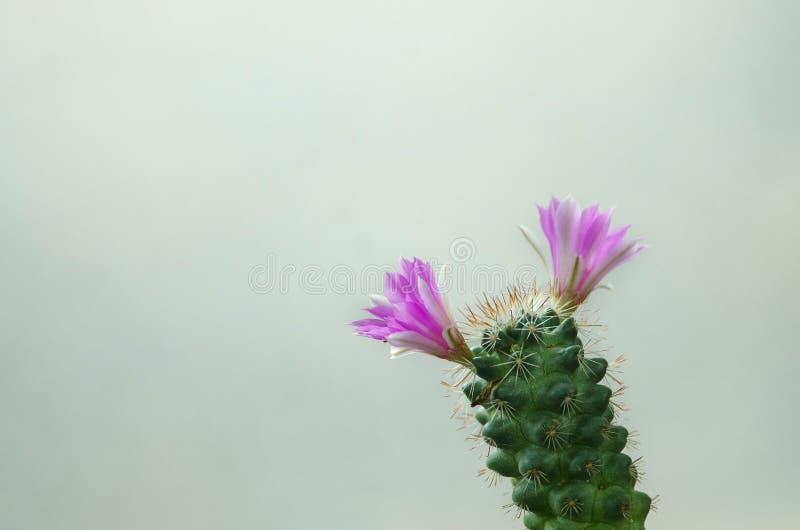 Cierre para arriba de la flor del cacto imagenes de archivo