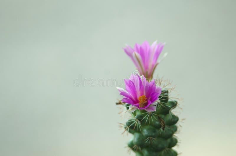 Cierre para arriba de la flor del cacto fotografía de archivo