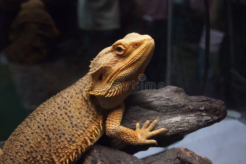 Cierre para arriba de la mirada hermosa de la iguana en usted foto de archivo libre de regalías