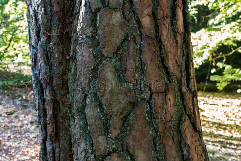 Cierre para arriba de un bosque grande del holandés del inicio de sesión del árbol imágenes de archivo libres de regalías