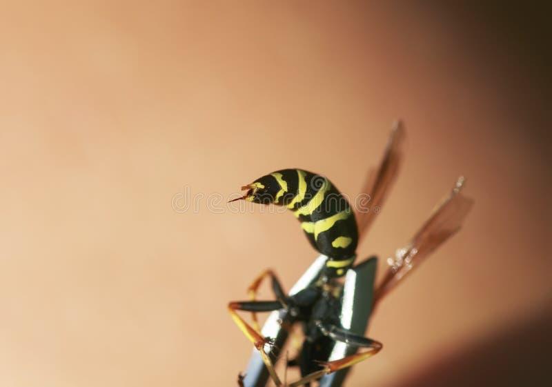 Cierre - para arriba del abdomen de la avispa con una picadura venenosa que resalta fotos de archivo libres de regalías