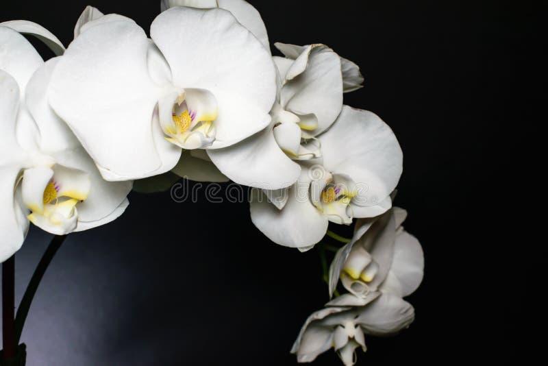 Cierre para arriba del espray blanco de la orquídea de flores en un fondo negro destacado con la garganta amarilla y púrpura Macr imagenes de archivo