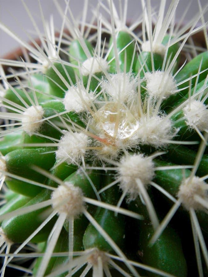 Cierre para arriba el descenso del agua en agujas del cactus imágenes de archivo libres de regalías
