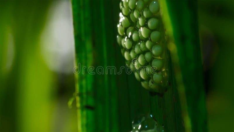 Cierre para arriba la freza del glassfrog, embrague de los huevos de la rana arbórea ocultados bajo glassfrogs de una hoja ponen  foto de archivo libre de regalías