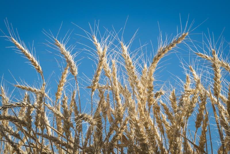 Cierre para arriba, trigo, tiempo de cosecha fotografía de archivo libre de regalías