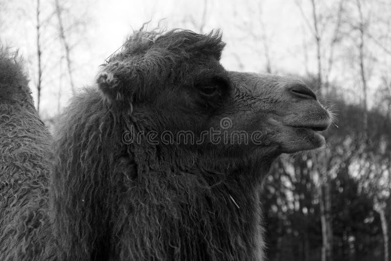 Cierre principal del camello encima del blanco negro imagen de archivo