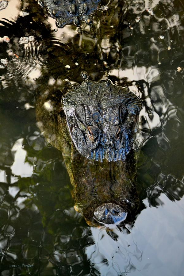Cierre principal del cocodrilo para arriba en agua de ondulación imagenes de archivo