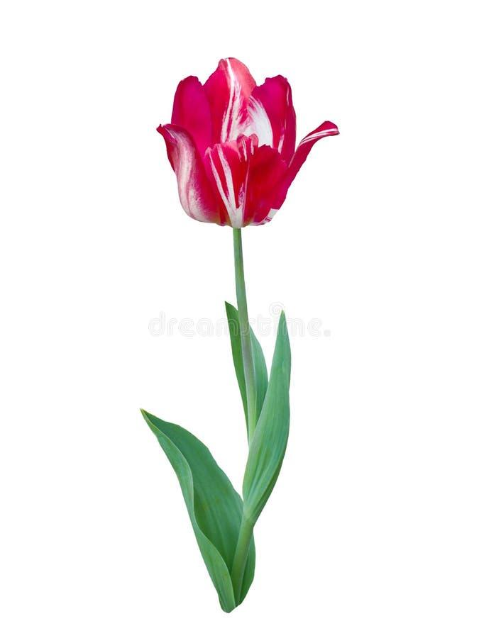 Cierre rayado rojo del tulipán para arriba imagen de archivo libre de regalías