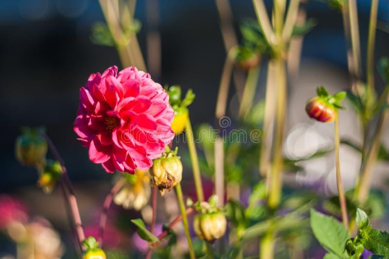 Cierre rojo de la flor para arriba en naturaleza Ciérrese para arriba de la flor china del hibisco en color rojo con el fondo bor foto de archivo libre de regalías
