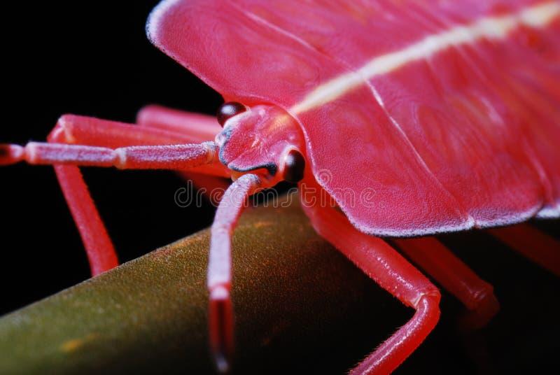Cierre rojo de la ninfa del insecto del hedor para arriba imagen de archivo