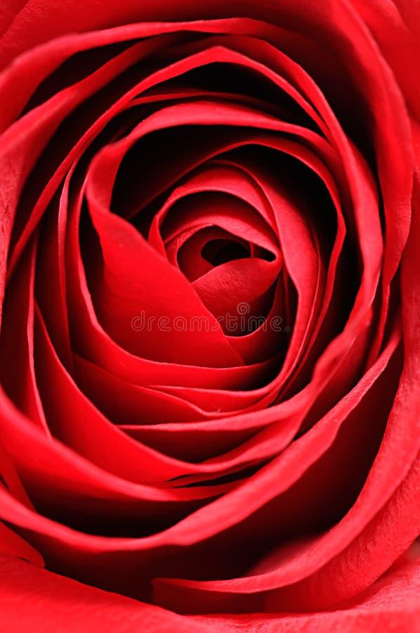 Cierre rojo de Rose para arriba imagen de archivo