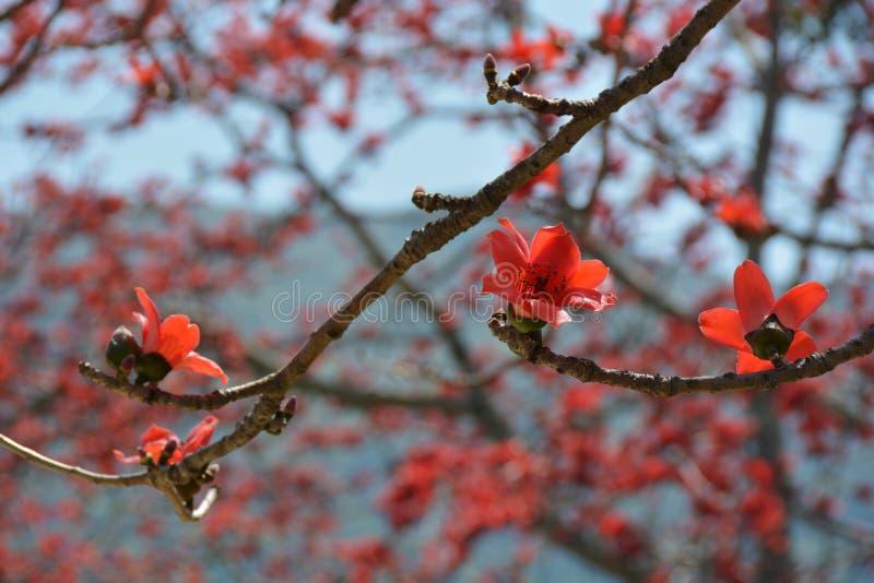 Cierre rojo del árbol del algodón de seda para arriba imágenes de archivo libres de regalías