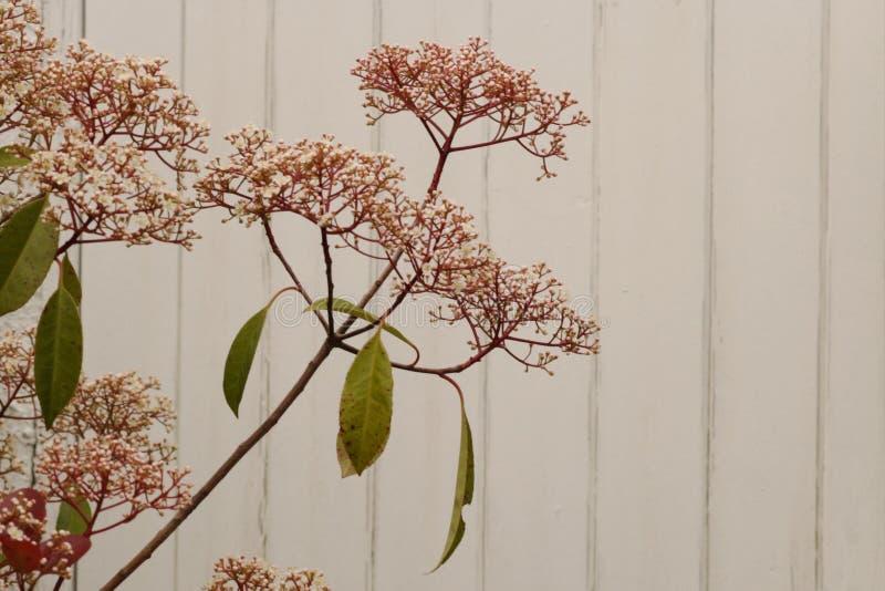 Cierre rojo del arbusto del petirrojo del Photinia para arriba con el fondo blanco imagen de archivo libre de regalías