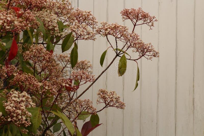Cierre rojo del arbusto del petirrojo del Photinia para arriba fotos de archivo libres de regalías