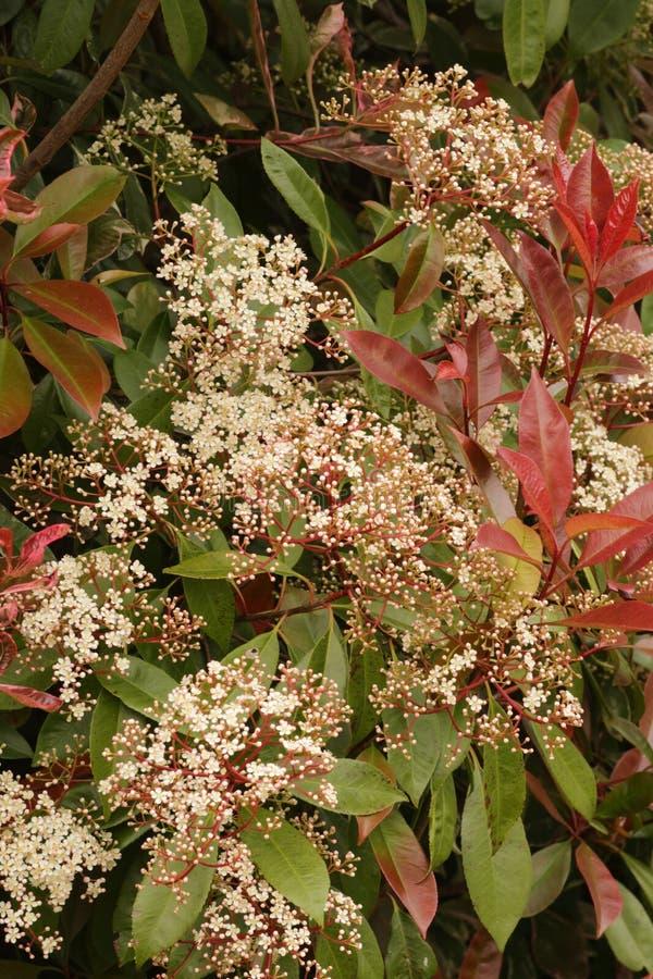 Cierre rojo del arbusto del petirrojo del Photinia para arriba imagen de archivo