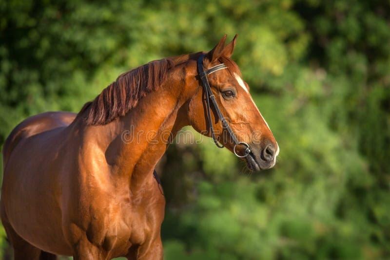Cierre rojo del caballo para arriba fotografía de archivo
