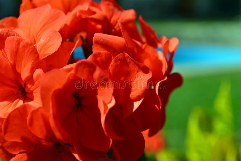 Cierre rojo del geranio para arriba imagenes de archivo