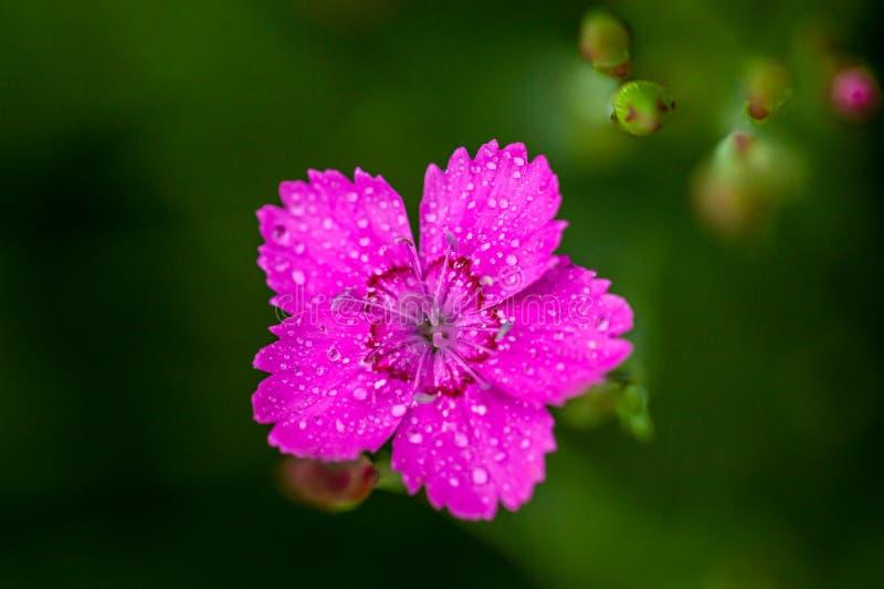 Cierre rosado de la flor de Deltoides del clavel para arriba imagen de archivo